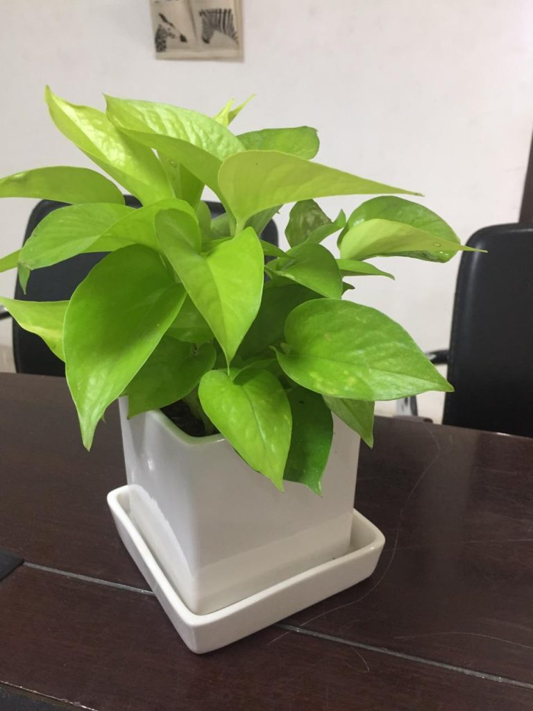Money Plant Golden, Oxopodium, Golden Pothos