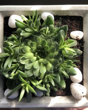 echevaria lime n chile